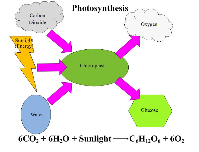 photosysthesis diagrams Introduce the concept of photosynthesis to your first grader with this simple coloring page the picture diagram shows what happens when photosynthesis occurs.